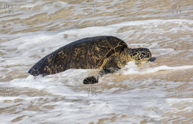Green sea turtle haul-out, Ho'okipa Beach Park, Maui, Hawaii.