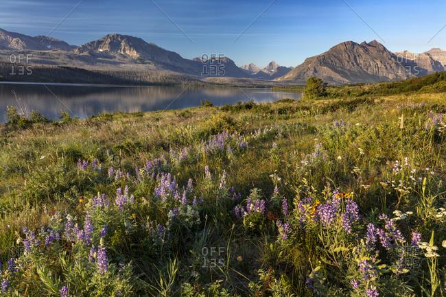 Prairie wildflowers along St. Mary Lake in Glacier National Park, Montana, USA
