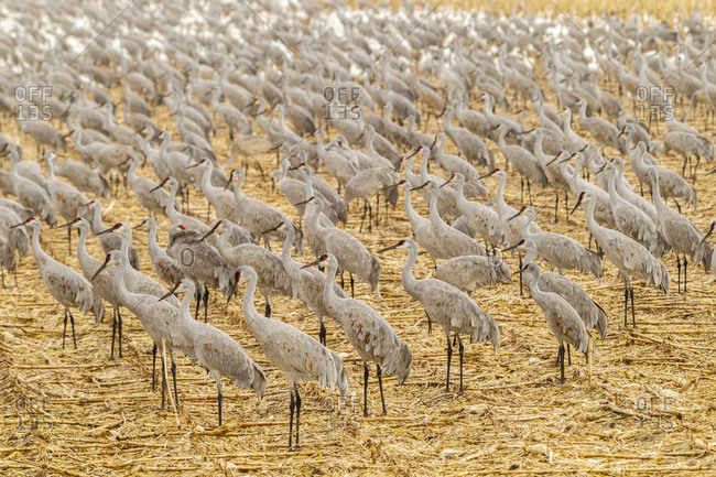 USA, New Mexico, Bosque del Apache National Wildlife Refuge. Sandhill cranes on feeding grounds.