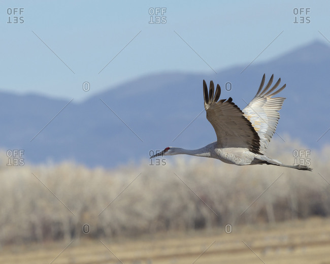 Sandhill crane flying, Bosque del Apache National Wildlife Refuge, New Mexico.