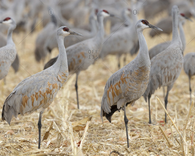 New Mexico, sandhill cranes gathering in the corn fields of Bernardo Wildlife Area, before migrating northward for spring.
