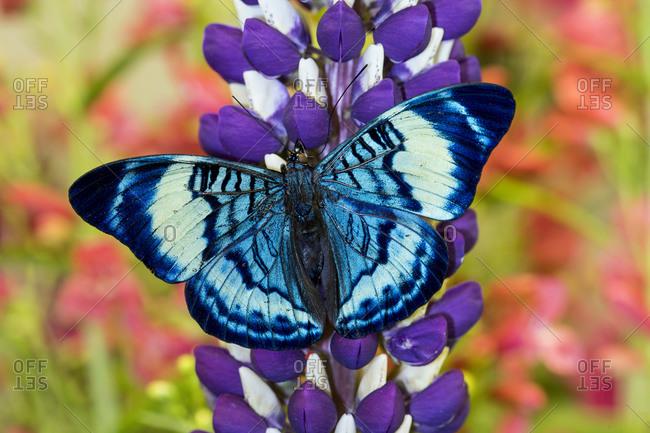 Butterfly, Panacea procilla on lupine, Bandon, Oregon