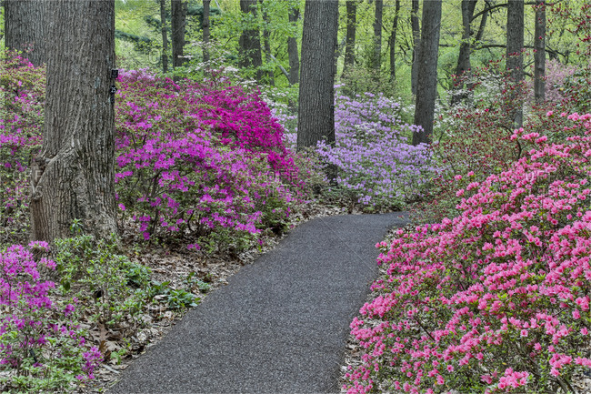 Path and azaleas in bloom, Jenkins Arboretum and Garden, Devon, Pennsylvania.