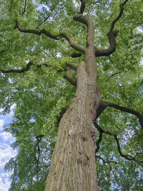 Looking up at a very tall and old tree.