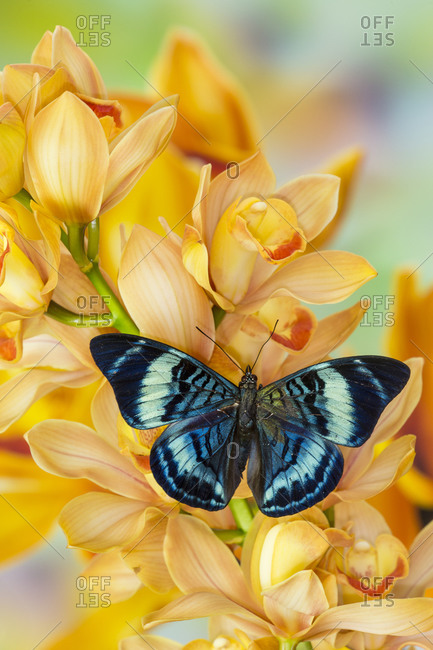 Panacea procilla tropical butterfly on large golden cymbidium orchid