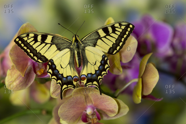 Moth orchid, Phalaenopsis and old world swallowtail butterfly, Papilio machaon