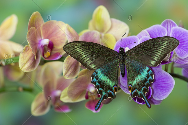 Moth orchid, Phalaenopsis and tropical swallowtail butterfly, Papilio maackii