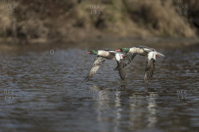 USA, Washington State. Common Mergansers (Mergus merganser) takes flight on Sammamish Slough, Kenmore.