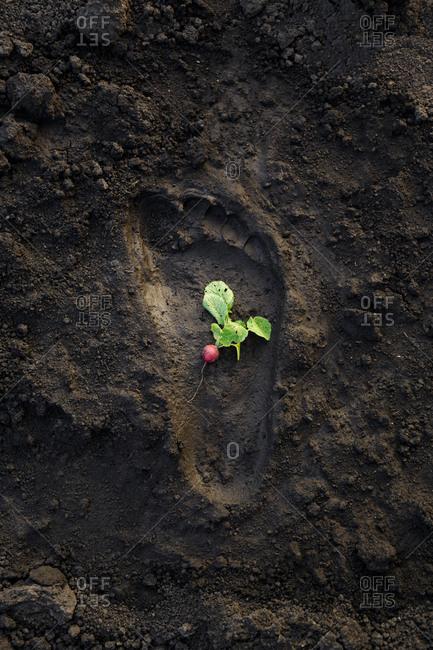 A small radish inside a human footprint in the mud