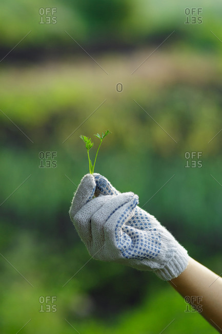 Gardener holding a small green leaves in a garden