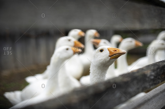Geese behind wooden fence