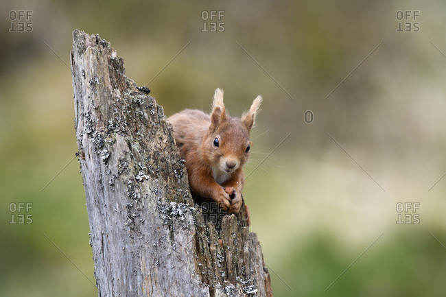 Portrait of Eurasian red squirrel (Sciurus Vulgaris) feeding on tree stump