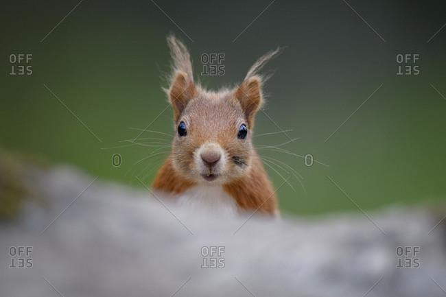 Portrait of Eurasian red squirrel (Sciurus Vulgaris) looking straight at camera