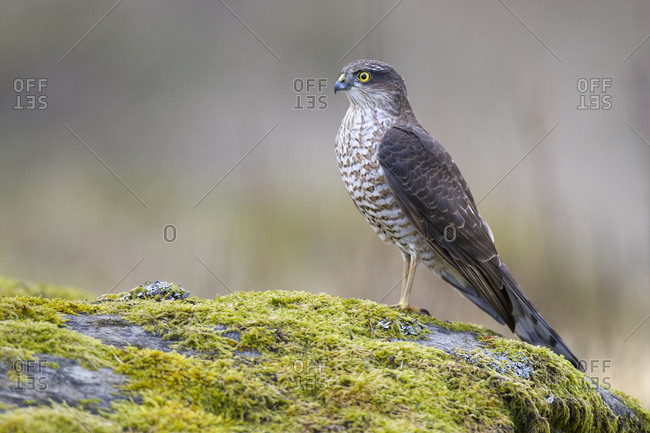 Portrait of Eurasian sparrowhawk (Accipiter nisus) standing on mossy rock