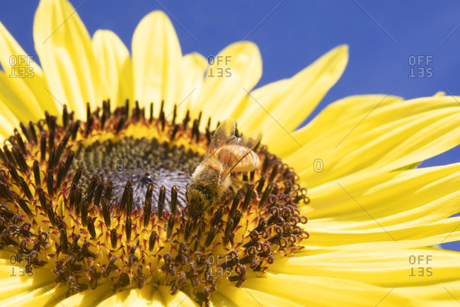 Close up of a sunflower with bee gathering honey, Vancouver, British Columbia, Canada
