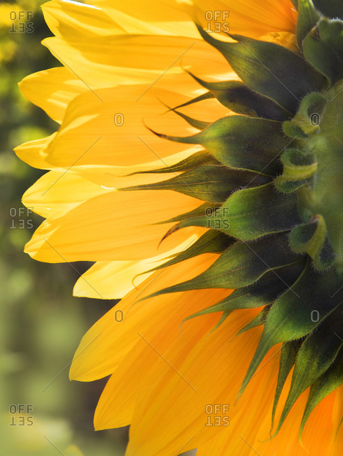 Sunflower close up, Vancouver, British Columbia, Canada
