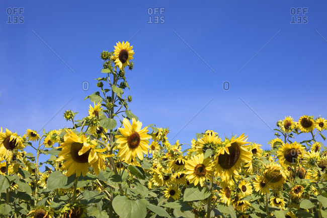 Sunflowers on Vancouver Island, British Columbia, Canada