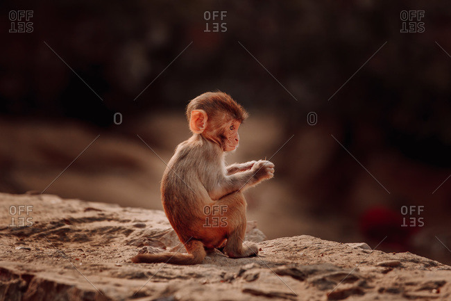 Rhesus macaque baby sitting on stone in forest in India