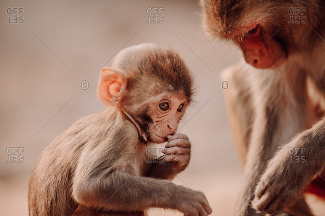 Rhesus macaque baby and mother sitting in natural environment in India
