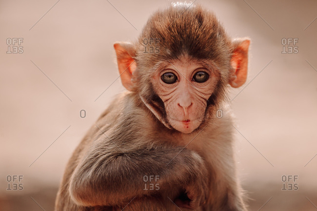 Rhesus macaque baby sitting on stone in forest in India looking at camera