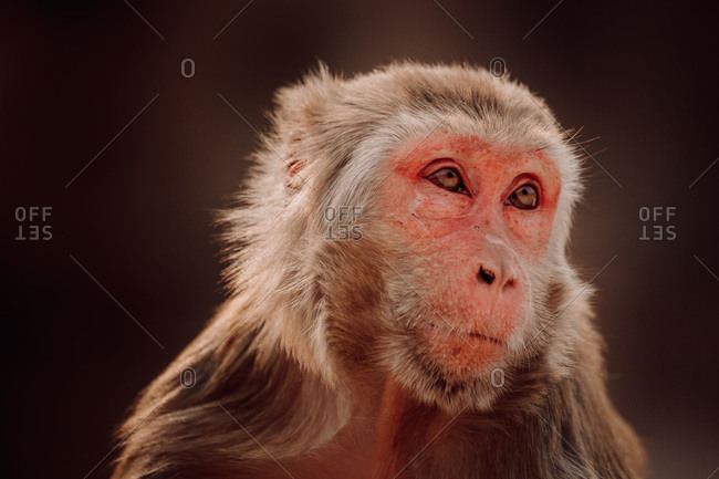 Adult rhesus macaque sitting against blurred foliage of jungle in India