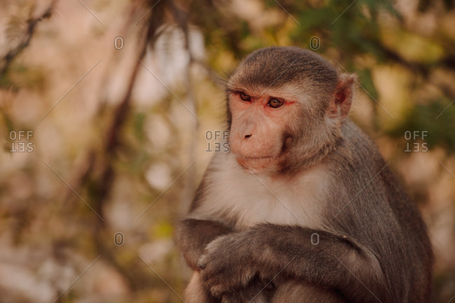 Adult rhesus macaque or sitting against blurred foliage of jungle in India