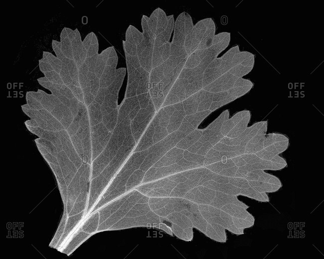 Inverted image of cilantro leaf