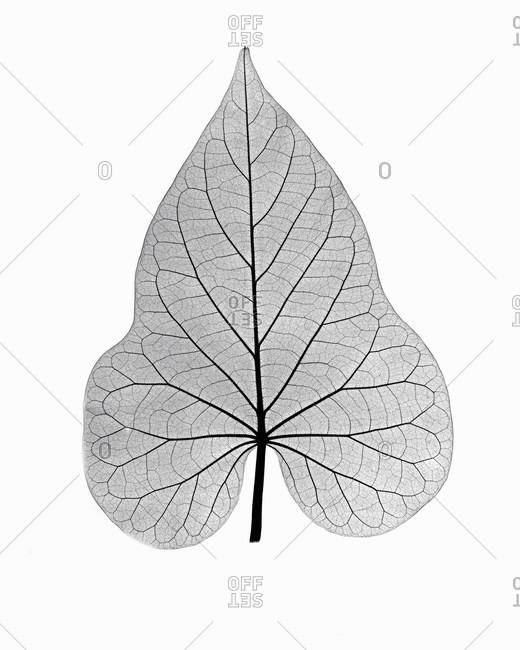 X-ray image of ornamental potato leaf