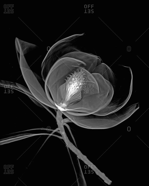 Inverted image of magnolia flower