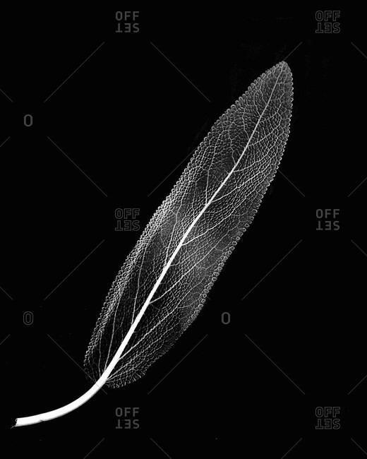 Inverted image of sage leaf