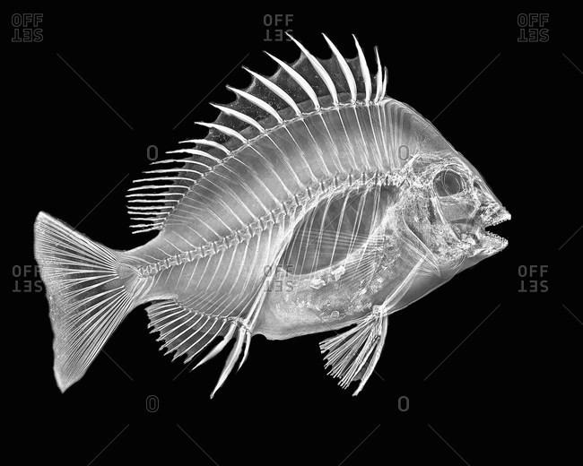 Inverted image of sheephead fish