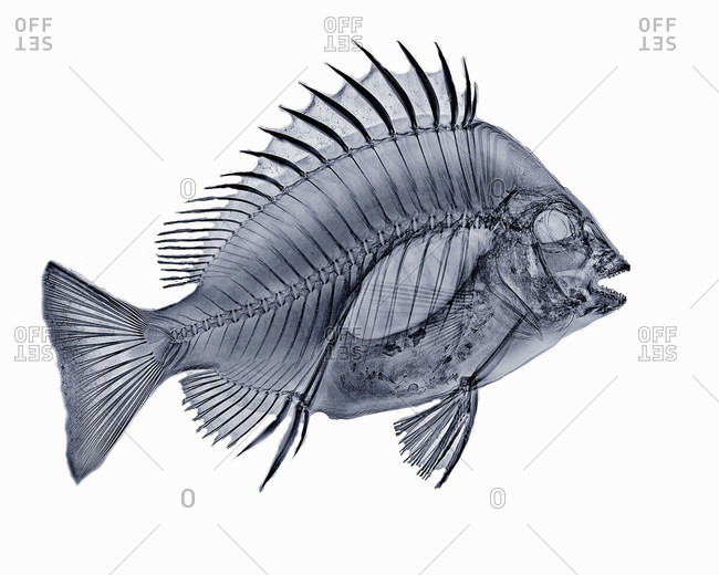 X-ray image of sheephead fish