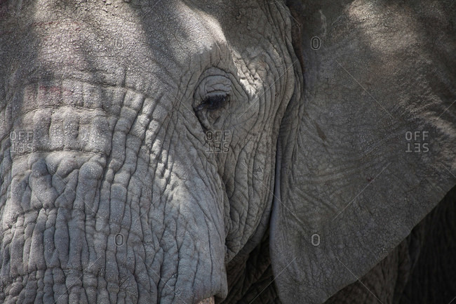 Close up of elephants wrinkly face