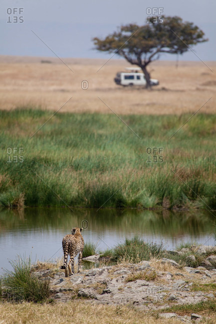 Cheetah standing by watering hole