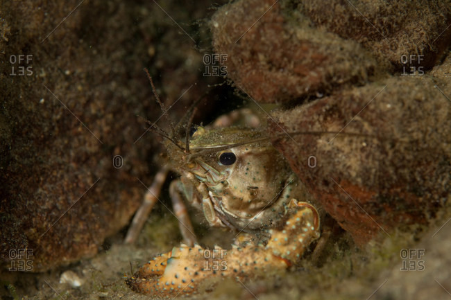 Close up of freshwater crayfish