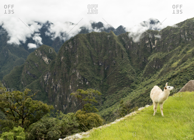 Llama and Machu Picchu, Sacred Valley, Peru, South America