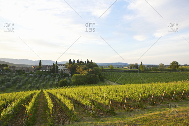 Beautiful vineyard, Florence, Italy - Offset