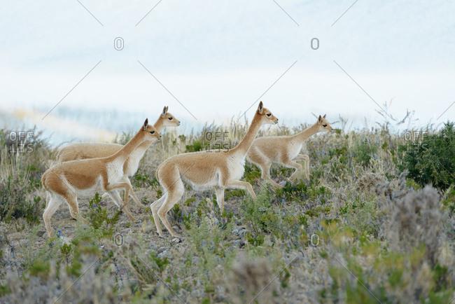Running herd of vicuna, Yuspique, Peru, South America