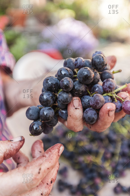 Mature woman hands sorting black grapes to make grappa, Moghegno Village, Maggia Valley, Ticino, Switzerland