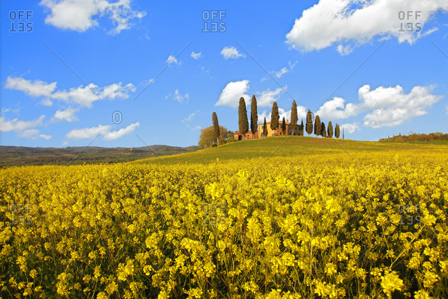 Farm with yellow colza flower, Pienza, Tuscany, Italy