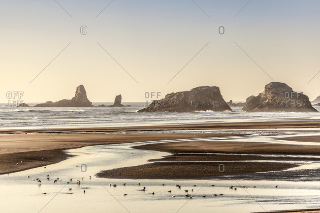 Seabirds wading and feeding on beach, Cannon Beach, Oregon, USA