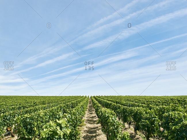 Beautiful vineyard, Bordeaux, France - Offset