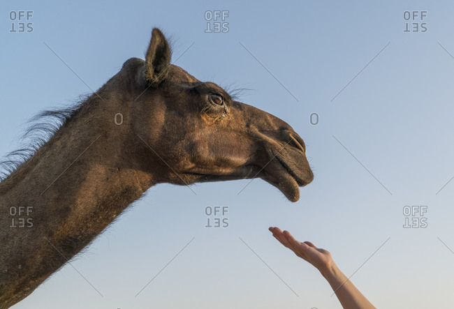 Womans hand reaching out to camel, Abu Dhabi, UAE
