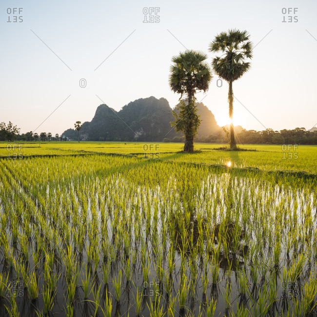 Paddy fields, Hsipaw, Shan State, Myanmar