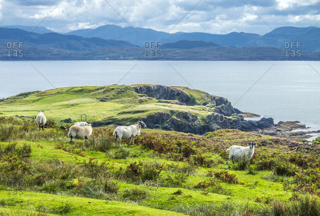Europe, Great Britain, Scotland, Hebrides, south-east of the Isle of Skye, Point of Sleat, grazing Scottish Blackface sheeps facing the ocean