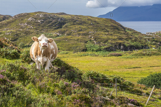 Europe, Great Britain, Scotland, Hebrides, south-east of the Isle of Skye, grazing cow at Point of Sleat
