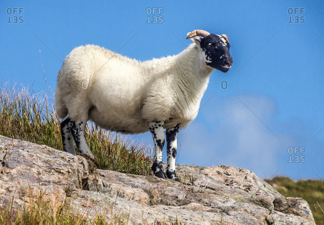 Europe, Great Britain, Scotland, Hebrides, south-east of the Isle of Skye, Point of Sleat, Scottish Blackface sheep on rocks