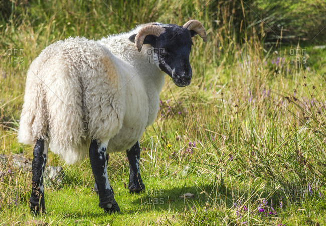 Europe, Great Britain, Scotland, Hebrides, south-east of the Isle of Skye, Point of Sleat, grazing Scottish Blackface sheep