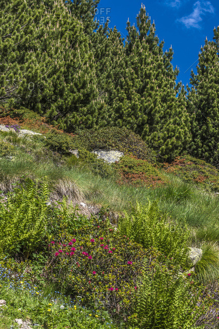 Spain, Catalonia, Pyrenees, comarque of Ripolles, Vall de Nuria, pine trees and blooming wild rhodedendron