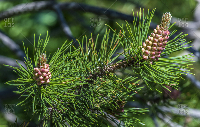 Spain, Catalonia, Pyrenees, comarque of Ripolles, Vall de Nuria, pine tree buds